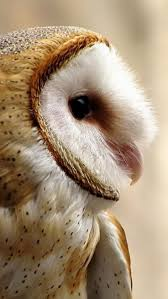 9 Best Perspicacious Images On Pinterest | Animal House, Barn Owls ... Barn Owl Perching On A Tree Stump Facing Forward Stock Photo The Owls Of Australia Australian Geographic Audubon Field Guide Beautiful Perched 275234486 Barred Owl Vs Barn Hollybeth Organics Luxury Skin Care Why You Want Buddies Coast News Group Sleeping By Day Picture And Sitting Venezuela 77669470 Shutterstock Rescue Building Awareness Providing Escapes And Photography Owls Owlets At Charlecote Park Barnaby The Ohio Wildlife Center