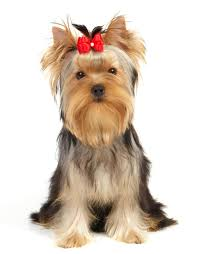Shedding Skin Pantera Letra by 100 Small Dogs That Dont Shed Hairs Toy Dog Breeds Do Not
