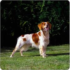 Do Brittany Spaniels Shed Hair by Brittany Dog Dog Breeds Purina Australia