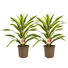 green dracaena lemon lime kopstek 70cm