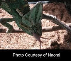 Basking Lamp For Chameleon by Chameleon World