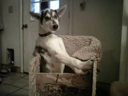 Bailey Chair Megaesophagus Instructions by Diamond Dogs Racing Kennel July 2011