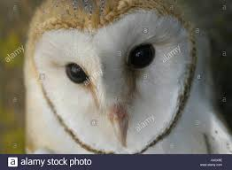 Barn Owl Tyto Alba Aragon Spain KIKE CALVO VISUAL WRITTEN Bird ... Barn Owl Looking Over Shoulder Perched On Old Fence Post Stock Eccles Dinosaur Park Carnivore Carnival The Salt Project Barn Moving Head Side To Slow Motion Video Footage 323 Best Owls Images Pinterest Owls Children And Free Images Wing White Night Animal Wildlife Beak Predator 189 Beautiful Birds Sat A Falconers Glove Photo Royalty Image Paris Owl 150 Pictures Snowy More