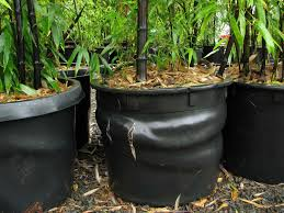 planting bamboo in a pot growing and maintaining bamboo