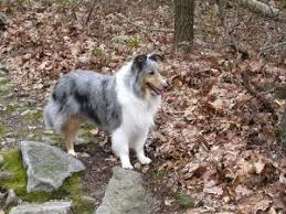 Sheltie Shedding In Clumps by Pet Grooming Info About Pets