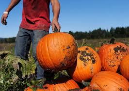 Pumpkin Picking Nj Near Staten Island by The Decker Farm U2013 Staten Island Ny