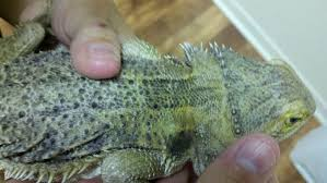 Bearded Dragon Shedding In Patches by Strange Skin Lesion On His Shoulder U2022 Bearded Dragon Org