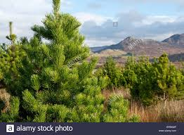 Christmas Trees Types Uk by Christmas Trees Lodge Pole Pine One Of The Most Popular Varieties