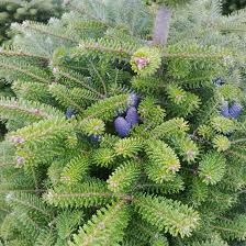 Silvertip Fir Christmas Tree by Real Christmas Trees From The Billingley Christmas Tree Farm