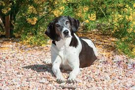 Do Bluetick Coonhounds Shed by Treeing Walker Coonhound Dog Breed Information Pictures