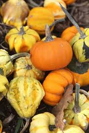Pumpkin Patch Houston Oil Ranch by Fall Festivals U0026 Events Calendar Houston Chronicle