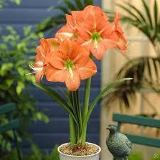 buy amaryllis bulbs uk ventoline nourrisson bronchiolite