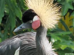 West African Crowned Crane