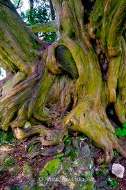 Ancient Yew Tree Roots Abstract Art