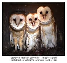 Amazon.com: Backyard Barn Owls: Barn Owls (Tyto Alba), Bert Kersey ... Wildwatchcams Owls The Barn Owlcam Story Washington Delta The Owl Vision Capture Process Victory Ranch Welcomes New Residents 5 Native Utah How To Build A Nest Modern Farmer In Flight By Gailjohnson On Deviantart A Natural Predator For Vineyard Pests Northwest Public Radio Single Baby All But Ready To Fly Whitby Parody Wiki Fandom Powered Wikia Maxresdefaultjpg Pinterest Owls Barns And Bird Of Prey Centres Experience Bear And Other Songs Helping Barn Uk Wildlife Trusts