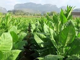 Tobacco Fields In Valle De Vinales