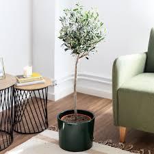 großer olivenbaum xl dante colvin