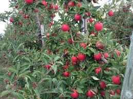 18 Michigan apple varieties and when they ll be ripe