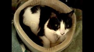 Kh Thermo Kitty Heated Cat Bed by A Good Heated Cat Bed Youtube