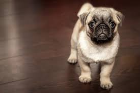 Miniature Dog Breeds That Dont Shed by Top 10 Small Dog Breeds In The World