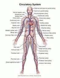 HumanAnimal Anatomy And Physiology Diagrams Circulatory System Diagram
