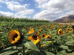 Oklahoma Pumpkin Patch Directory by Sunflower Fields Via Pumpkin Station Ranchobernardo Sandiego