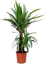 robuste kräftige yucca palme 2 stämmig zur haus begrünung in