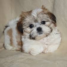 Top 10 Dogs That Dont Shed by 24 Pictures Of Shih Tzu Yorkie Mix A K A Shorkie And Breed Info