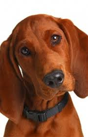 Do Bluetick Coonhounds Shed by Redbone Coonhound Dog Breed Information Pictures Characteristics