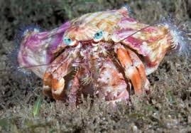 Do Hermit Crabs Shed Their Whole Body by Roaming The Sand Biome At Night The Spanish Dancer Anemone