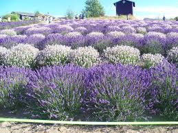 Lavender: #Lavender In Sequim, Washington, USA. | Dungeness Barn ... Spices Herbs Salt Pper Oh My Dungeness Barn House Bed Lavender In Your Garden Breakfast Lilacs Were Glorious This Year Inns Of Exllence 8388 Best Architecture Images On Pinterest Architecture Annual Film Festival Wbbg Spotlight Some Our Bbs Art Our Bb Apron Story And Stylings Picking With Persnicketys Secrets Sequim Near Olympic National Park