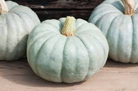 Fertilizer Requirements For Pumpkins by Jarrahdale Large Pumpkin Seed Johnny U0027s Selected Seeds