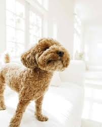 Best House Dogs That Dont Shed by Clean House Tips For Pet Owners Martha Stewart