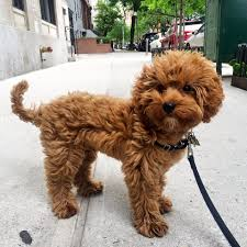 Cavapoos Do They Shed by Best 25 Cavapoo Puppies For Sale Ideas On Pinterest Cavapoo For