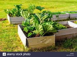 Growing Rhubarb In Raised Gardening Beds Made Of Recycled Pallet Collars