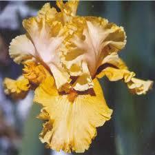tuscan villa iris flowers iris bulbs iris nursery