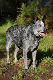 Non Shedding Small Dogs Australia by Truly Interesting Facts About Australian Cattle Dogs Blue Heelers