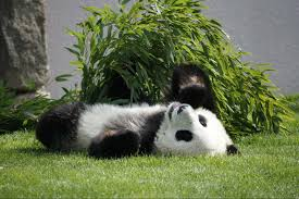 Most Beautiful Panda HD Wallpapers