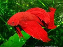 aquarium poisson prix les 25 meilleures idées de la catégorie poisson combattant prix