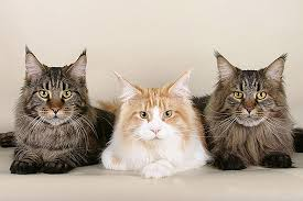 forest cat vs maine coon the maine coon or mancoon the domestic cat nikdaum
