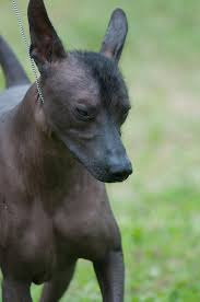 List Of Non Shedding Big Dogs by Xoloitzcuintli Dogs Pinterest Dog Pet Dogs And Animal