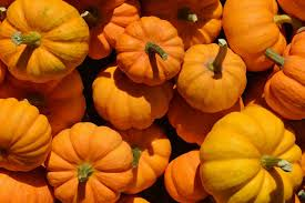 Natural Fertilizer For Pumpkins by Learn About Nature Growing Pumpkins Learn About Nature