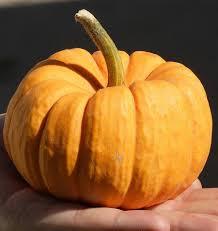 Fertilizer Requirements For Pumpkins by Jack Be Little Pumpkin Seeds