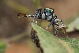 Spirit Halloween Brown Jumping Spider by 100 Halloween Jumping Spider The Different Types Of Spider