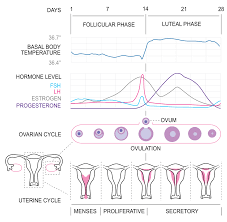 Shedding Of Uterine Lining Without Blood by Physiology Of The Female Reproductive System Boundless Anatomy