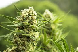 recolte cannabis exterieur date en extérieur en pots ou en pleine terre