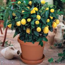 meyer lemon potted kit citrus trees stark bros meyer lemon tree