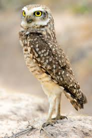 124 Best Owls Images On Pinterest | Owls, Great Horned Owl And Owl ... Watch The Secret To Why Barn Owls Dont Lose Their Hearing 162 Best Owls Images On Pinterest Barn And Children Stock Photos Images Alamy Owl 10 Fascating Facts About Species List Az 210 Birds Drawing Photographs Of Cave By Tyler Yupangco 312 Beautiful Birds