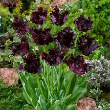 black parrot tulip bulbs buy tulip bulbs on sale at edenbrothers