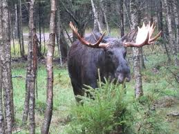 Moose Shedding Their Antlers by Things To Do With Children In Almhult Family Nomadic